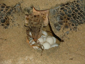 sea_turtle_laying_eggs.jpg